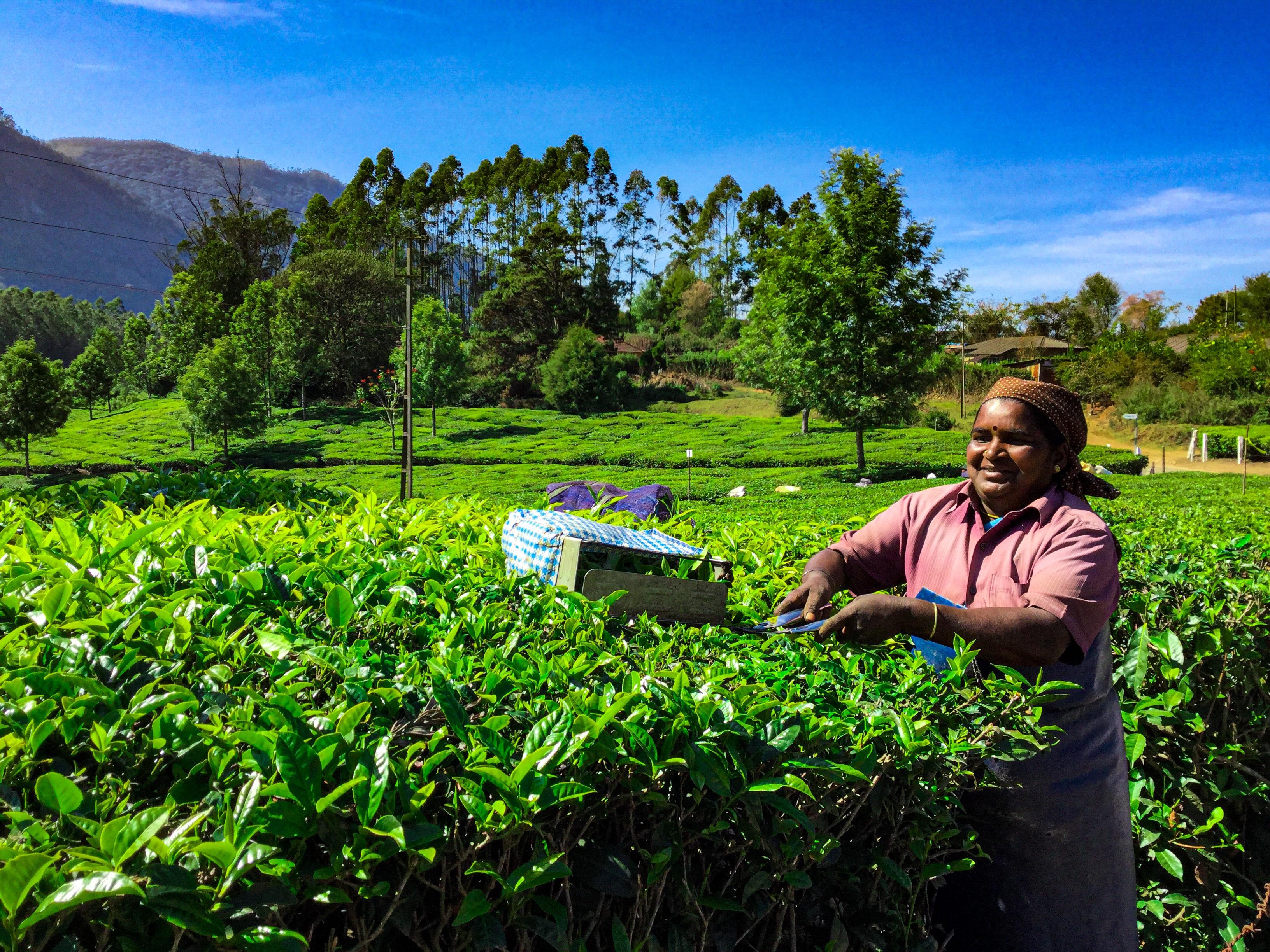 Women pruning tea leaves